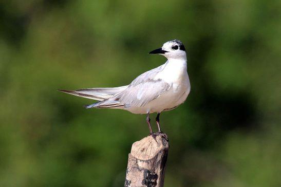 Whiskered_tern_(Chlidonias_hybridus)_winter_plumage
